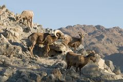 Desert Bighorn Sheep flock Royalty Free Stock Photo