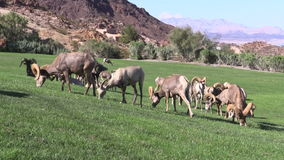 Desert Bighorn Sheep Herd Royalty Free Stock Image