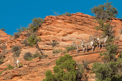 Desert Bighorn Sheep Herd Stock Photos