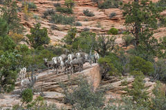 Desert Bighorn Sheep Herd. A herd of desert bighorn sheep in Utah Stock Images
