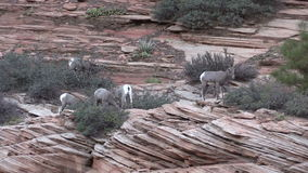 Desert Bighorn Sheep Herd stock video