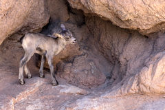 Desert Bighorn Sheep lamb. Exploring her surroundings. www.grayfoxxpixx.com Stock Photography