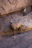 Desert Bighorn Sheep lamb and new Mother. Posing on the rocks Royalty Free Stock Photos
