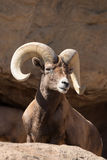 Desert Bighorn Sheep royalty free stock photo