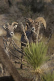 Desert bighorn sheep. Royalty Free Stock Image