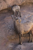 Desert Bighorn Sheep. Mom and new lamb exploring their surroundings Royalty Free Stock Photography