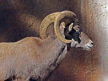 Desert Bighorn Sheep Royalty Free Stock Photo