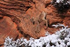 Desert Bighorn Sheep Royalty Free Stock Photography