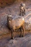 Desert Bighorn Sheep  and new lamb Stock Photos