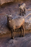 Desert Bighorn Sheep and new lamb. Www.grayfoxxpixx.com Royalty Free Stock Images