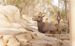 Desert Bighorn sheep, Ovis canadensis Royalty Free Stock Photos
