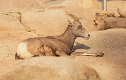 Desert Bighorn sheep, Ovis canadensis Royalty Free Stock Photography