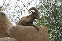 Desert Bighorn sheep (Ovis canadensis nelsoni) Stock Images