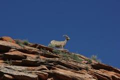 Desert Bighorn Sheep (Ovis canadensis nelsoni) Stock Photo