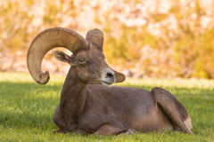 Desert Bighorn Sheep Ram Bedded Stock Images