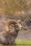 Desert Bighorn Sheep Ram Bedded Royalty Free Stock Photography