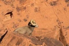 Desert Bighorn Sheep Ram Bedded Royalty Free Stock Photos