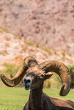 Desert Bighorn Sheep Ram Royalty Free Stock Photo