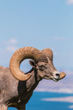 Desert Bighorn Sheep Ram Stock Photography