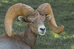 Desert Bighorn Sheep Ram Close Up Royalty Free Stock Photos