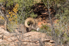 Desert Bighorn Sheep Ram in Cover Royalty Free Stock Image