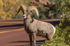 Desert Bighorn Sheep Ram Crossing Road. A desert bighorn sheep ram crossing a road in Zion National Park Stock Image
