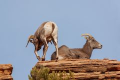 Desert Bighorn Sheep Ram and Ewe. A desert bighorn sheep ram and ewe during the fall rut stock photos