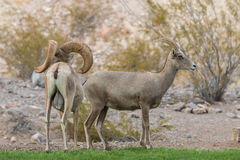 Desert Bighorn Sheep Ram and Ewe Stock Image