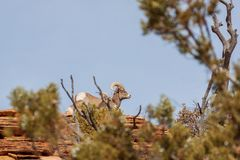 Desert Bighorn Sheep Ram and Ewe in Rut. A desert bighorn sheep ram and ewe during the fall rut stock photography