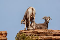 Desert Bighorn Sheep Ram and Ewe Rutting. A desert bighorn sheep ram and ewe during the fall rut stock image