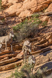 Desert bighorn Sheep Ram and Ewes Royalty Free Stock Photo