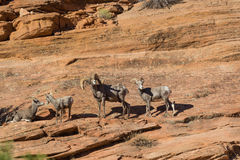 Desert Bighorn Sheep Ram and Ewes Stock Photography