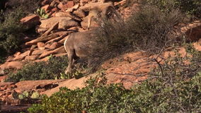 Desert Bighorn Sheep Ram Feeding stock video