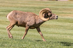 Desert Bighorn Sheep Ram in Field. A nice desert bighorn sheep ram in Nevada Royalty Free Stock Image