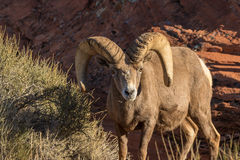 Desert Bighorn Sheep Ram Grazing Royalty Free Stock Photos