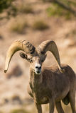 Desert Bighorn Sheep Ram Head on Royalty Free Stock Photo