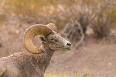 Desert Bighorn Sheep Ram Stock Photos