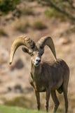 Desert Bighorn Sheep Ram Royalty Free Stock Photography