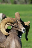 Desert Bighorn Sheep Ram Portrait Stock Photos