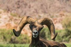 Desert Bighorn Sheep Ram Portrait Royalty Free Stock Images