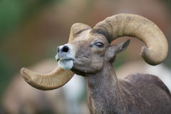 Desert Bighorn Sheep Ram Portrait Royalty Free Stock Image
