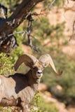 Desert Bighorn Sheep Ram Portrait Stock Images