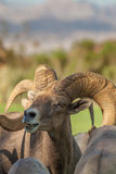 Desert Bighorn Sheep Ram Portrait Royalty Free Stock Photo