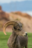 Desert Bighorn Sheep Ram Portrait Stock Photography