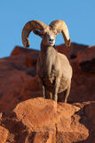 Desert Bighorn Sheep Ram Posing Royalty Free Stock Photos