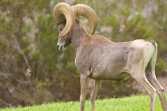 Desert Bighorn Sheep Ram Posturing Stock Photography