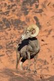 Desert Bighorn Sheep Ram Royalty Free Stock Images