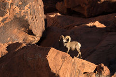 Desert Bighorn Sheep Ram Royalty Free Stock Photos