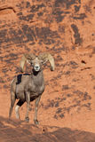 Desert Bighorn Sheep Ram on Red Rocks Royalty Free Stock Photos