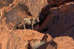 Desert Bighorn Sheep Ram. A desert bighorn sheep ram in red rocks in valley of fire state park nevada Royalty Free Stock Photo